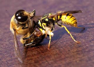 http://3.bp.blogspot.com/_NiEyBaPXus8/TDWhyKyPxfI/AAAAAAAAAAk/D-y6jvjxr-4/s200/wasp-vs-bee.jpg